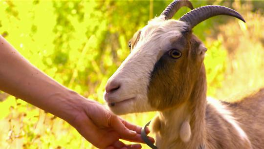 Animals at Work - S2E28 - Telsha Pack Goat