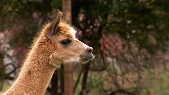 Animals at Work - S2E33 - Blaze Alpaca Security Guard