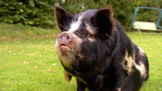 Animals at Work - S2E46 - Sue Pig Coach