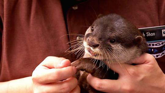 Animals at Work - S2E48 - Mei Binman Otter
