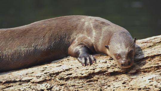 Brazil Untamed - E9 - Giant Otter Refuge