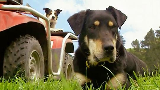 Dogs With Jobs - E63 - Huntaway Steam, Heavenly Angel and Mike