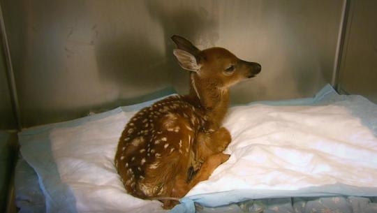 Hope for Wildlife - S3E3 - First Fawns