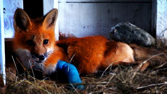 Hope for Wildlife - S1E3 - Outfoxed