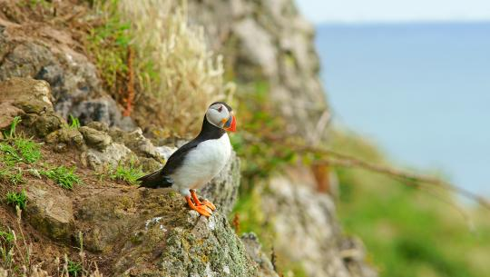 Wild Britain with Ray Mears - S2E5 - Skomer Island: Wales