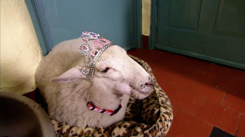 Animals at Work - S2E51 - Lambini Sheep Dog Sheep