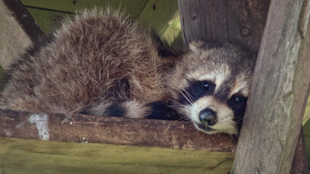 Hope for Wildlife - S10E5 - A Raccoon, A Ring & Four Rescues
