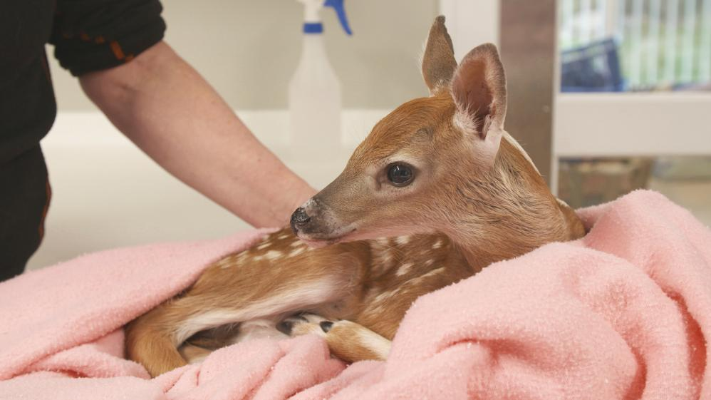 The First Fawn