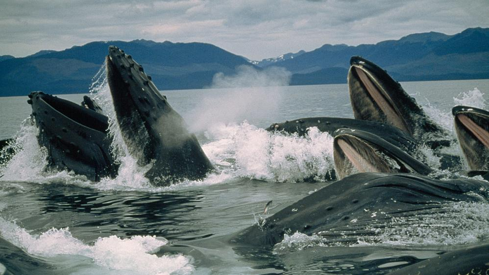National Geographic Specials -  Humpbacks: Inside the Pod