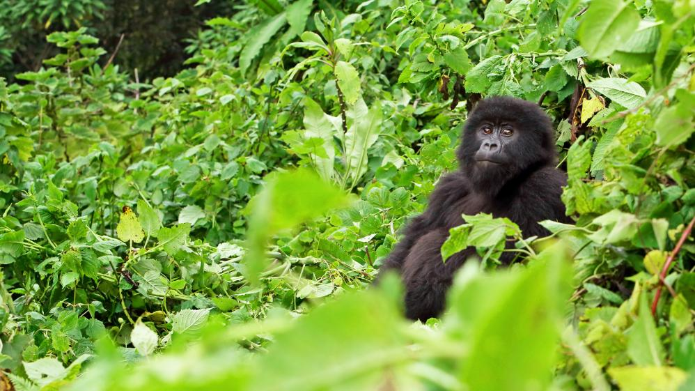 National Geographic Specials -  Lost Gorillas of Virunga